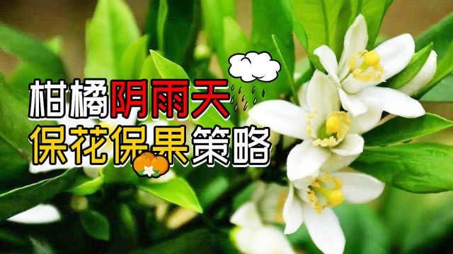 柑橘阴雨天保花保果管理技巧指南!