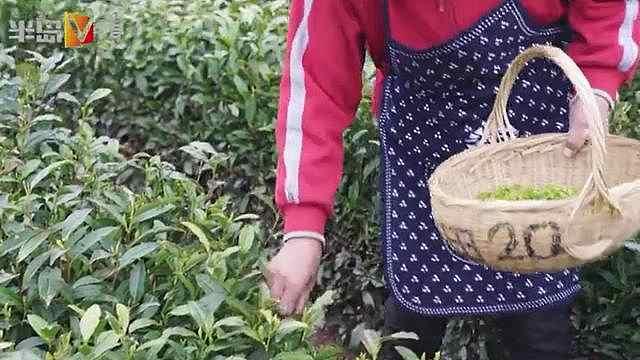 谷雨过后,崂山大田春茶开采上市了