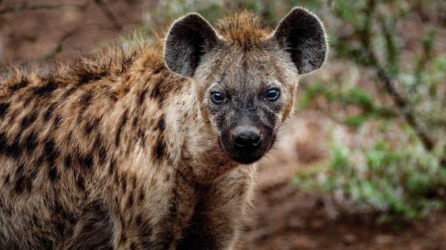 草原的肉食军团——斑鬣狗