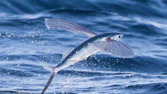 会飞的神奇鱼类:飞鱼