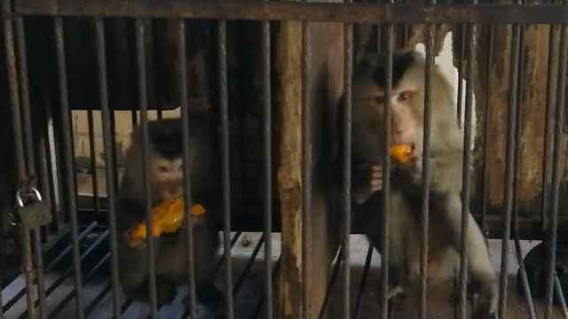 濒危猴被圈养6年,放生又会跑回家