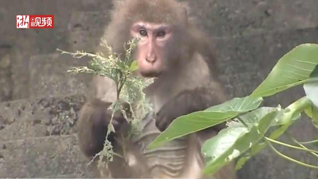 日本动物园猴子越狱被抓回