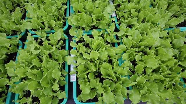 茅台酒糟种出有机蔬菜,废料变肥料