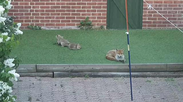看狐狸宝宝们打闹真的是太有趣了!