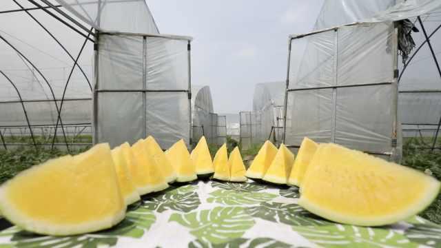 网红黄瓤西瓜:喝豆浆长大的无籽瓜