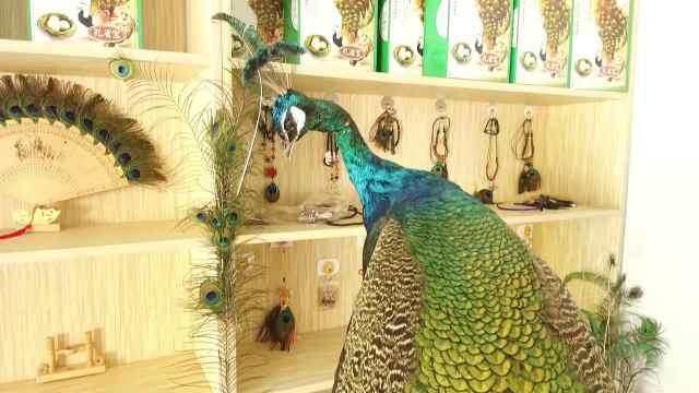 蓝孔雀全身都是宝,农民养它奔小康