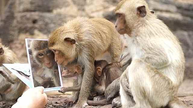 抱着镜子不撒手,猴子聚众欣赏美颜